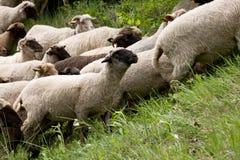Πρόβατα που ακούονται Στοκ φωτογραφίες με δικαίωμα ελεύθερης χρήσης