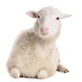 Πρόβατα που απομονώνονται στο λευκό Στοκ εικόνα με δικαίωμα ελεύθερης χρήσης