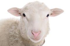 Πρόβατα που απομονώνονται στο λευκό Στοκ Φωτογραφία