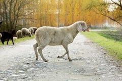 Πρόβατα που αφήνουν το κοπάδι του Στοκ φωτογραφίες με δικαίωμα ελεύθερης χρήσης