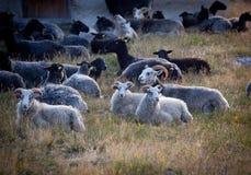 Πρόβατα που βάζουν την κατανάλωση κατά τη διάρκεια ενός θερινού βραδιού στη Σουηδία Στοκ Εικόνες