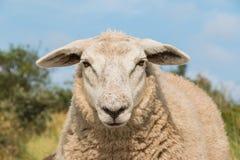Πρόβατα που κοιτάζουν επίμονα επάνω το στενό κεφάλι άποψης Στοκ φωτογραφία με δικαίωμα ελεύθερης χρήσης