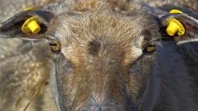 Πρόβατα που κοιτάζουν επίμονα στη κάμερα Στοκ Φωτογραφίες