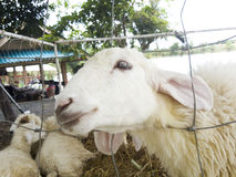 Πρόβατα που κοιτάζουν μέσω του φράκτη καλωδίων Στοκ εικόνα με δικαίωμα ελεύθερης χρήσης