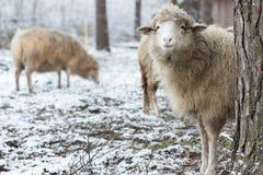 Πρόβατα που κρύβουν πίσω από ένα δέντρο Στοκ Εικόνα
