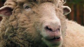Πρόβατα που μασούν την κινηματογράφηση σε πρώτο πλάνο τροφικών βόλων απόθεμα βίντεο