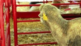 Πρόβατα που περιορίζονται στη μάνδρα στην έκθεση κομητειών απόθεμα βίντεο