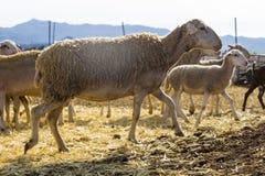 Πρόβατα που περπατούν γύρω από το αγρόκτημα στοκ φωτογραφίες