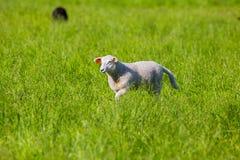 Πρόβατα που περπατούν στη χλόη Στοκ Φωτογραφίες