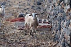 Πρόβατα που περπατούν στο βουνό Στοκ φωτογραφία με δικαίωμα ελεύθερης χρήσης