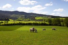 Πρόβατα που πιάνουν τη χλόη Στοκ Εικόνα