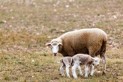 Πρόβατα που προσέχουν πέρα από την μικρά Στοκ φωτογραφία με δικαίωμα ελεύθερης χρήσης