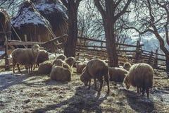 Πρόβατα που στηρίζονται σε μια πτυχή Στοκ Εικόνα