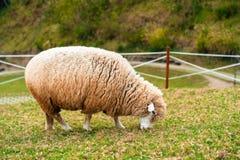 Πρόβατα που τρώνε τη χλόη στον τομέα Στοκ Εικόνες
