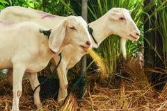 Πρόβατα που τρώνε τη χλόη και το σανό Στοκ φωτογραφία με δικαίωμα ελεύθερης χρήσης