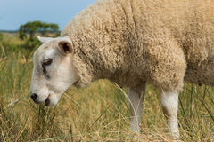 Πρόβατα που τρώνε τη χλόη στη θερινή κινηματογράφηση σε πρώτο πλάνο Στοκ εικόνα με δικαίωμα ελεύθερης χρήσης