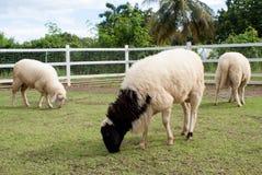 Πρόβατα που τρώνε τη χλόη Στοκ Φωτογραφία