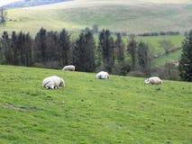 Πρόβατα που χαλαρώνουν και που κοιμούνται, στη Northumberland, την Αγγλία, UK Στοκ Εικόνα
