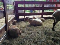 Πρόβατα που χαλαρώνουν σε ένα αγρόκτημα Στοκ Φωτογραφία