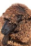 πρόβατα προβάτων της Μποχάρ&alph Στοκ εικόνα με δικαίωμα ελεύθερης χρήσης