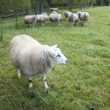 Πρόβατα σε έναν οπωρώνα στις Κάτω Χώρες κοντά στην Ουτρέχτη Στοκ εικόνες με δικαίωμα ελεύθερης χρήσης