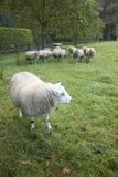 Πρόβατα σε έναν οπωρώνα στις Κάτω Χώρες κοντά στην Ουτρέχτη Στοκ εικόνα με δικαίωμα ελεύθερης χρήσης