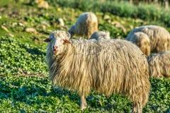 Πρόβατα σε έναν πράσινο τομέα στην άνοιξη Στοκ εικόνα με δικαίωμα ελεύθερης χρήσης