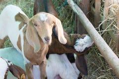 Πρόβατα σε έναν σταύλο Στοκ Φωτογραφία