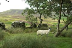 Πρόβατα σε ένα δάσος Στοκ Εικόνες