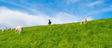 Πρόβατα σε ένα ανάχωμα στον ήλιο Στοκ Εικόνες