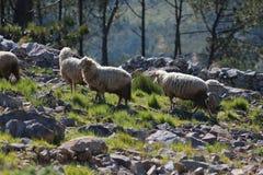Πρόβατα σε ένα βουνό στοκ φωτογραφία