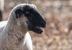 Πρόβατα σε ένα ζωηρόχρωμο λιβάδι που τρώει τα κρεμμύδια Στοκ Εικόνες