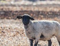 Πρόβατα σε ένα ζωηρόχρωμο λιβάδι που τρώει τα κρεμμύδια Στοκ φωτογραφία με δικαίωμα ελεύθερης χρήσης