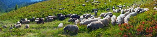 Πρόβατα σε ένα λιβάδι βουνών στοκ εικόνες