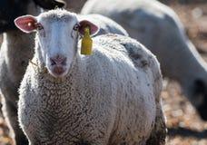 Πρόβατα σε ένα λιβάδι που τρώει τα κρεμμύδια Στοκ Φωτογραφίες