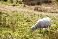 Πρόβατα σε ένα λιβάδι Στοκ Εικόνες