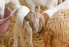 πρόβατα σε ένα κλουβί Στοκ φωτογραφίες με δικαίωμα ελεύθερης χρήσης