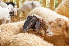 πρόβατα σε ένα κλουβί Στοκ φωτογραφία με δικαίωμα ελεύθερης χρήσης