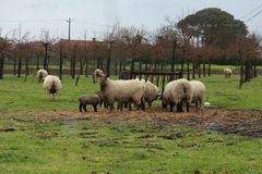 Πρόβατα σε ένα πεδίο Στοκ εικόνες με δικαίωμα ελεύθερης χρήσης