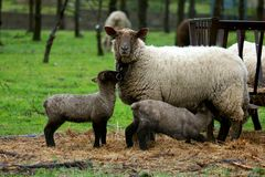 Πρόβατα σε ένα πεδίο Στοκ εικόνα με δικαίωμα ελεύθερης χρήσης