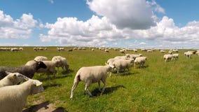 Πρόβατα σε ένα πεδίο απόθεμα βίντεο
