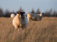 Πρόβατα σε ένα πεδίο Στοκ Φωτογραφία