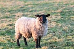 Πρόβατα σε ένα πεδίο Στοκ Εικόνα