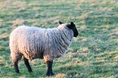 Πρόβατα σε ένα πεδίο Στοκ Εικόνες