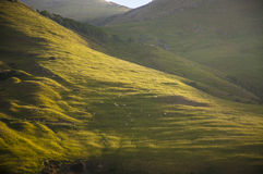 Πρόβατα σε ένα Hill στη χερσόνησο Otago Στοκ φωτογραφία με δικαίωμα ελεύθερης χρήσης