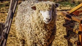 Πρόβατα σε αποικιακό Williamsburg στοκ εικόνες