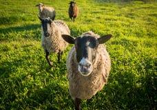 Πρόβατα σε μια πράσινη χλόη Στοκ Φωτογραφία