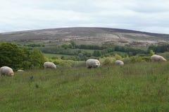 Πρόβατα σε Exmoor στοκ εικόνα