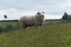 Πρόβατα σε Exmoor στοκ φωτογραφία