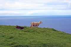 Πρόβατα σε Hermaness Στοκ Εικόνες